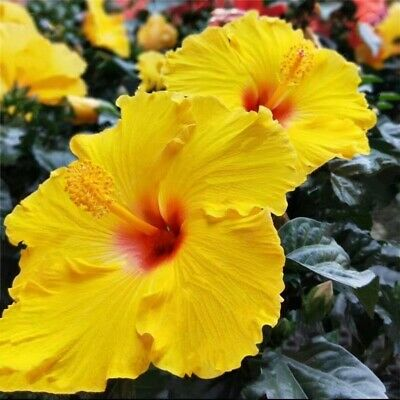 BUY 3 GET 2 FREE Giant Hibiscus Flower 85 Pcs Seeds for Garden Home