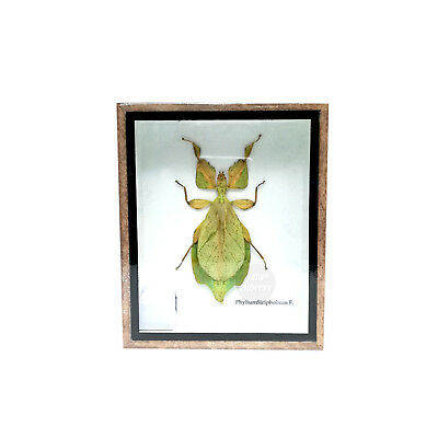 Real Rare Leaf Walking Phyllium Siccifolium Insect Taxidermy Display Framed Box