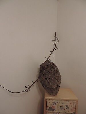 "Large Bald Face Hornet Nest Hive With tree Branch 20"" x 12"""