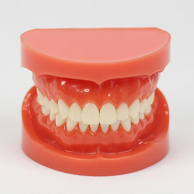 Brand New Dental Teach Study Adult Standard 1:1 Typodont Demonstration Model