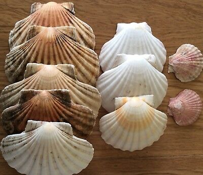10 Natural Scallop Shells Sea washed 100% Natural UK Scallop Shell