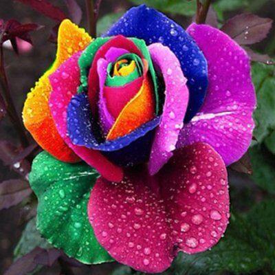 RARE Multi-Colours Rainbow Rose Seeds Bulb Garden Plant Flower True Seedling UK