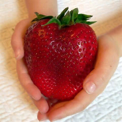 Egrow 100Pcs Giant Red Strawberry Seeds Heirloom Super Japan Strawberry Garden S