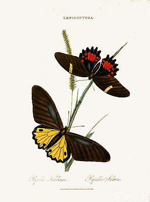 Antique Butterfly Print, Indian Lepidoptera, Natural History Repro Art Picture 4