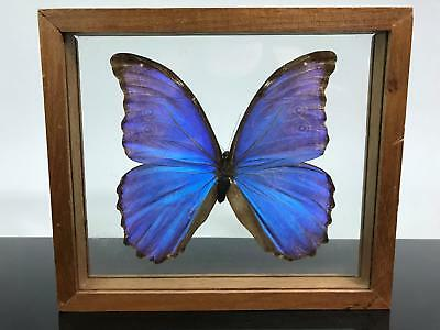 LARGE Real Butterfly Taxidermy Blue Morpho Insect Glass Wall Hanging Art Figure