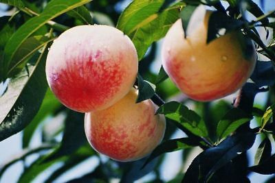 4 Peach Seeds Sweet Peaches Heirloom Organic Friut S023