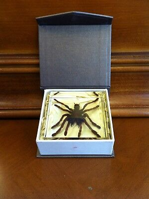 Real Tarantula Spider Insect/Clear Acrylic Block w/Box Desktop Paperweight Large