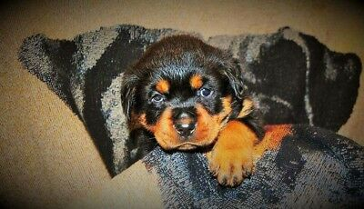 Rottweiler Dog Picture digital image wallpaper 1.00 Screensaver free shipping