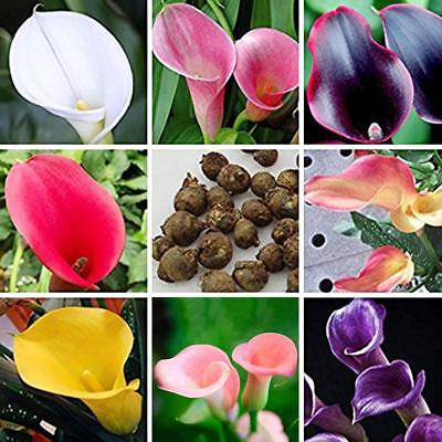 100PCS Bonsai Colorful Calla Lily Seeds Rare Plants Flower Seeds Home Q