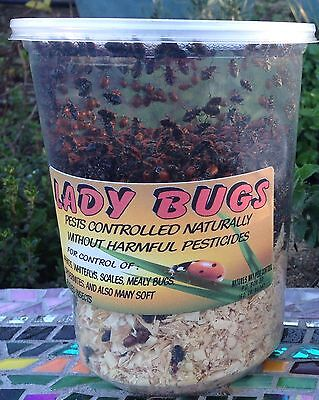 Fresh Fresh Fresh! 3000 Live Ladybugs ! From Our Hands To Yours, Family Owned !