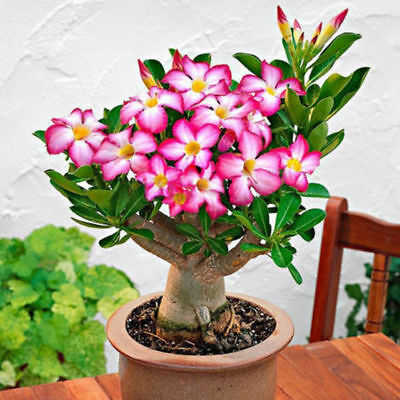 Desert Rose,one year bare Rooted baby plant- Caudex Bonsai,USA free ship