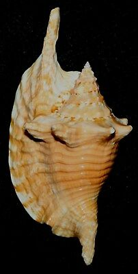 Seashell Sea Shell Brazil Light Orange strombus gallus 148mm F+ #138