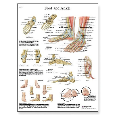 3B Scientific Human Anatomy - Foot and Joints Anatomy/Pathology Chart, Paper Ver