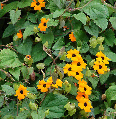 Thunbergia Alata Flower - THUNBERGIA MIXED - 35 seeds - BLACK EYED SUSAN #11023