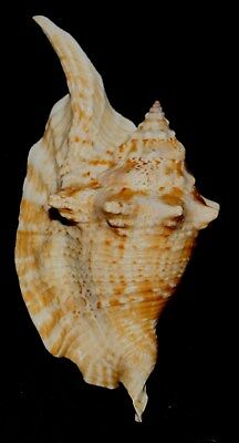 Seashell Sea Shell Brazil Freak strombus gallus 138mm F+ #395