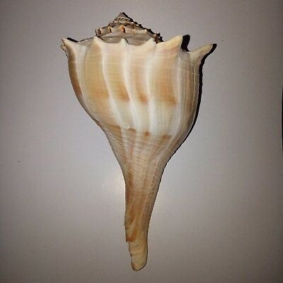 """Large 7-8"""" LEFT HANDED lightning whelk Sea shell. HEAVY Beach collectors"""