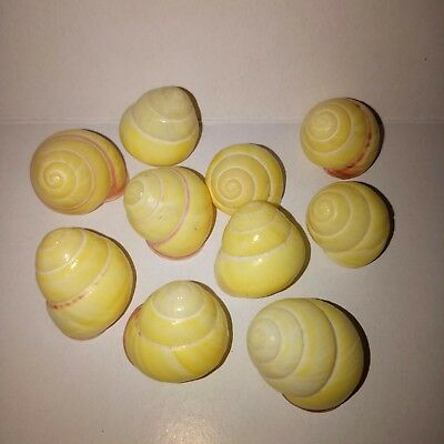 10 x yellow helicostyla land snail. Shell. Collectors