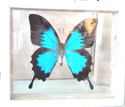 Real Butterfly Papillon Ulysses Display In Frame Insect Entomology Taxidermy Box
