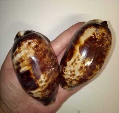 2 x LARGE Glossed Turtle Cowrie Sea shells. Beach Collectors Home Decor