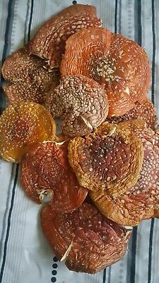 Amanita Mushrooms caps dried. 30 grams  Not for human consumption!Fly agaric