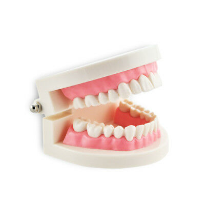 Dental Flesh Pink Gums Standard Adult Teeth Tooth Teaching Model (ship from USA)
