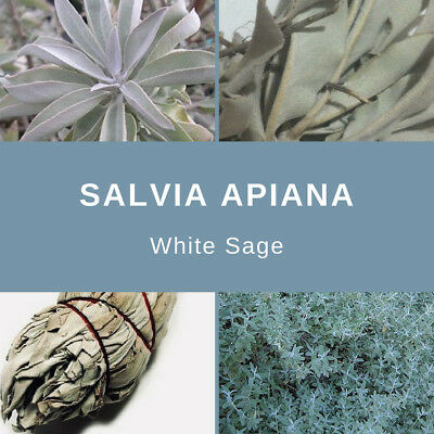 "Salvia Apiana ""White Sage"" Seeds"