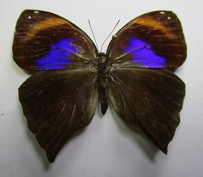 NYMPHALIDAE Satyrinae Bia octarion, Female   1   FROM PERÚ