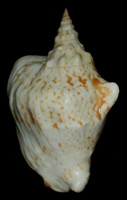 Seashell Sea Shell Okinawa RARE strombus thersites 136mm F+ #161