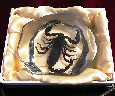 REAL LARGE Scorpion Decorative Acrylic Block-Taxidermy Paperweight-Halloween