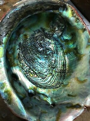 """Red Abalone Shell. RARE Large Northern California. Amazing Color! 9""""x7.5""""."""