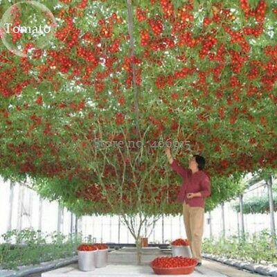 Heirloom Giant Tomato Tree, 100 Seeds,  healthy delicious nutritious edible frui