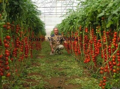 Tsifomandra Tomato Tree Seeds, professional pack, 100 Seeds