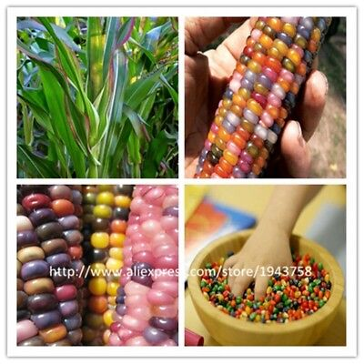 40 pcs rainbow corn seeds NO-GMO Glass Gem Corn vegetable seeds