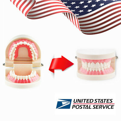 Dental Teach Study Adult Standard Typodont Demonstration Teeth Model Flesh USPS