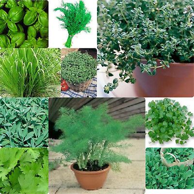 10 packs - Herb seed collection with 50 labels - inc. Basil, fennel, dill, sage