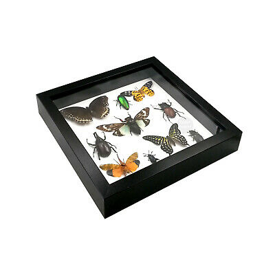 Real Mix Butterfly Insect Taxidermy Shadowbox Mounted Display Framed Wall Decor