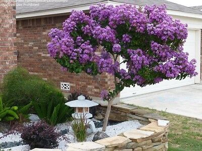 6+2 cuttings Crepe Crape Myrtle purple color, lilac color for rooting grafting