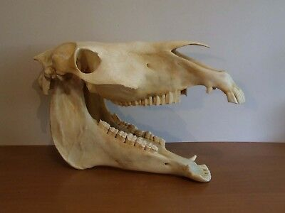 Large Horse Skull Complete W Jaw Taxidermy Skeleton Head Bones