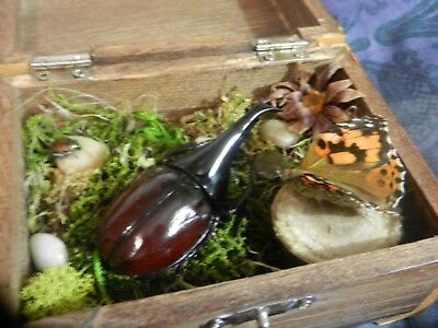[BEETLE/BUTTERFLY] taxidermy insect diorama box, OOAK mounted bug art piece