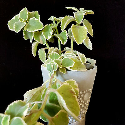 Mother of Herb ** Variegated medicinal plant ** Indoor or outdoor ** 1 plant