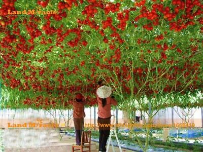 Greenhouse Giant Tomato Tree 50 Seeds/Pack Non-GMO Fruit & Vegetable Seed For Ho
