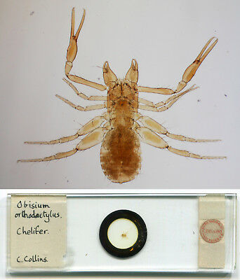 ca. 1880s Pseudo-Scorpion / Chelifer Microscope Slide, by Charles Collins, Jr.
