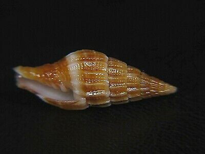 Mitra Leveophryna: Super Rare Vexillum Hardly Ever Available @ 19.7Mm!