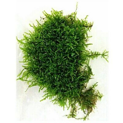 Java Moss Duck Weed Carpeting Live Plant Guppy Shrimp Aquarium Pond EASY GROW UK