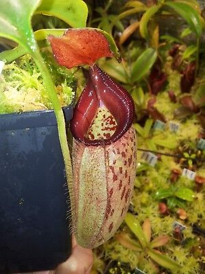 Carnivorous Plant Nepenthes . tanagensis x robcantleyi