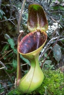 Carnivorous Plant Nepenthes lowii