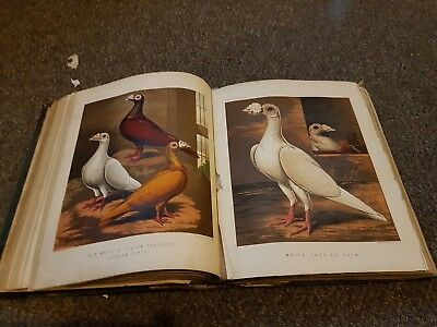 Fultons Book Of Pigeons Fulton Wright
