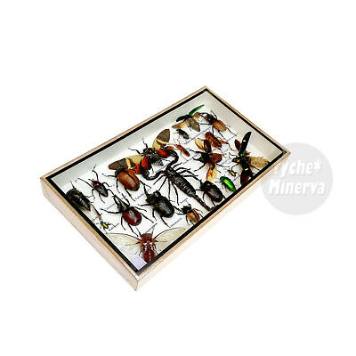 Real Scorpion Cicada Beetle Insect Taxidermy Entomology Display Framed Bug Box