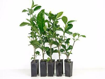 10-100 Plants|Gardenia Magnifica |Scented Double White Flower|Hedge Grows 2M