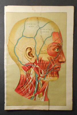 1903 antique Human Anatomy- BRAIN~SKULL Art Medical Science Diagram-MULTI-LAYER